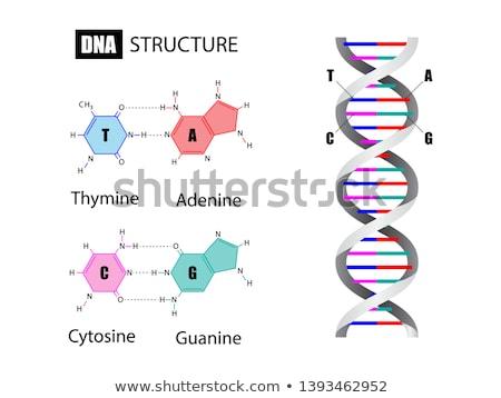 ADN · estructura · largo · doble · médicos - foto stock © idesign