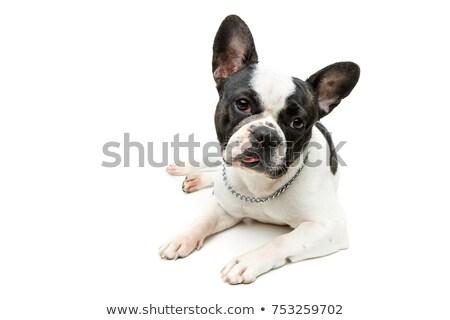kutyakölyök · kutya · hozzáállás · vicces · mérges · kopó - stock fotó © willeecole