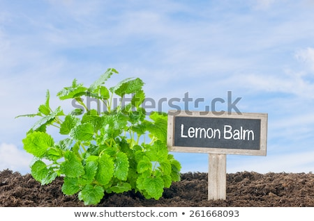 Lemon Balm in the garden with a wooden label Stock photo © Zerbor