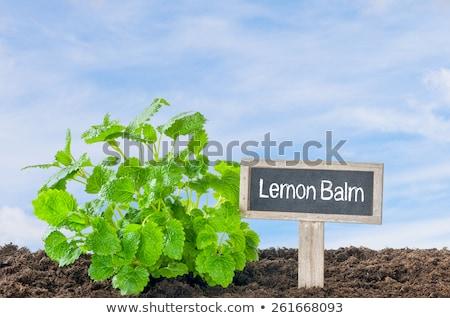 レモン · 香油 · ハーブ · 葉 · 孤立した · 白 - ストックフォト © zerbor