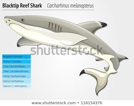 Blacktip Reef Shark Set Stock photo © derocz