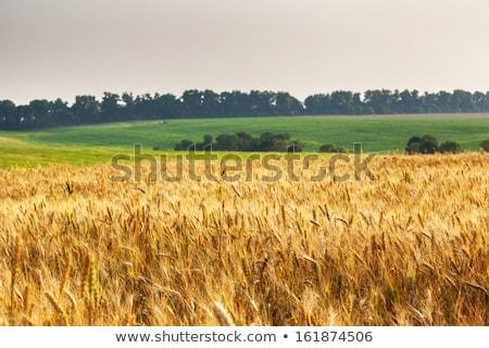 Csodálatos arany búzamező nyár tájkép gabonafélék Stock fotó © lypnyk2