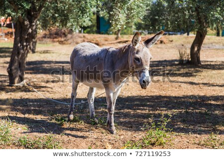 donkey in an olive grove Stock photo © OleksandrO