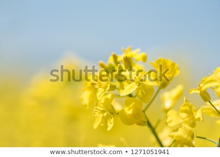 Stock photo: Yellow rapeseed field against a blue sky in the spring