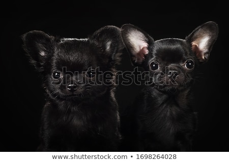 Stock photo: Black cute chihuahua in a black photo studio