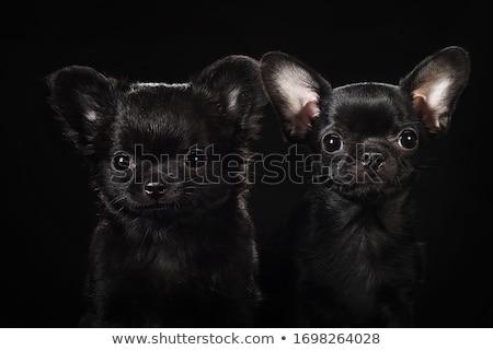 black cute chihuahua in a black photo studio stock photo © vauvau