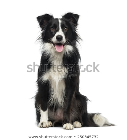 two border collie sitting in the white background stock photo © vauvau