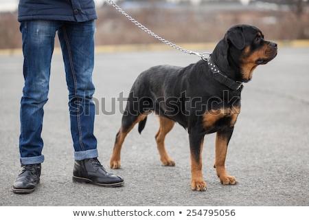 człowiek · rottweiler · najlepszy · przyjaciel · psa · piękna - zdjęcia stock © cynoclub