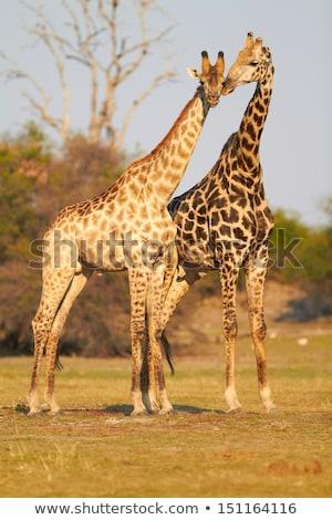 two giraffes necking in chobe stock photo © simoneeman