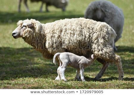 a sheep feeding its lamb stock photo © latent
