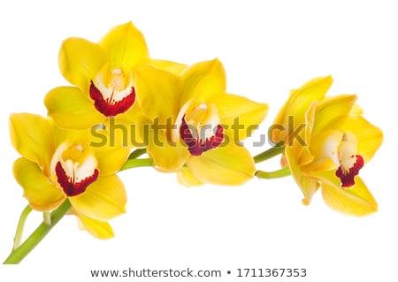 Amarelo orquídea flores escuro flor folha Foto stock © vrvalerian
