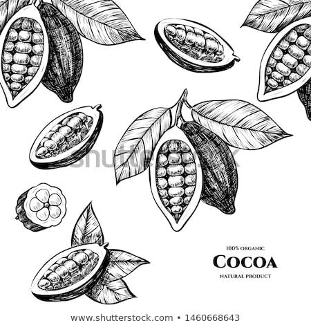 Cocoa beans - Vector illustration Stock photo © lossik