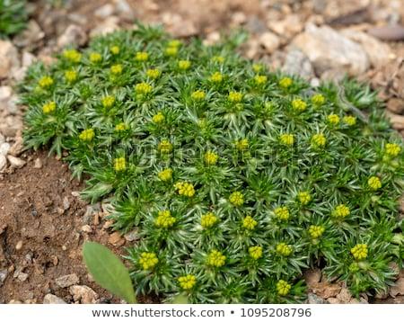 żółte kwiaty dziedzinie kwiat charakter tle roślin Zdjęcia stock © boggy