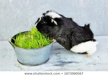 Blacck guinea pig near vase with fresh grass. Stock photo © Illia