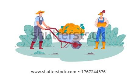 farmer harvesting on field pumpkins in cart vector stock photo © robuart