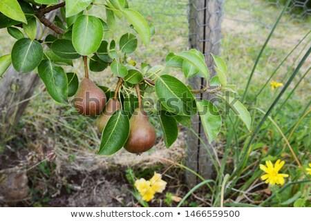 Tre pere crescita ramo albero da frutto lucido Foto d'archivio © sarahdoow