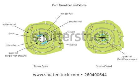 diagram showing plant cell with stomata and guard cell stock photo © bluering
