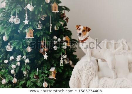 зима праздник внутренний атмосфера Джек-Рассел терьер собака Сток-фото © vkstudio