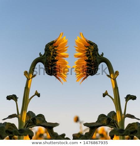 Side of sunflowers Stock photo © Elenarts
