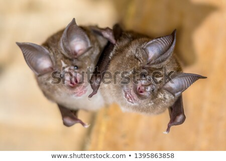 Rhinolophus ferrumequinum Stock photo © cynoclub