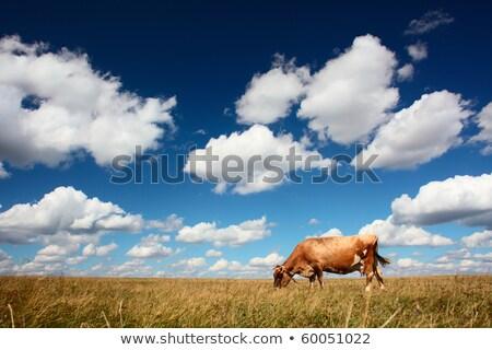 Marhahús szarvasmarha kék ég ausztrál copy space tehén Stock fotó © sherjaca