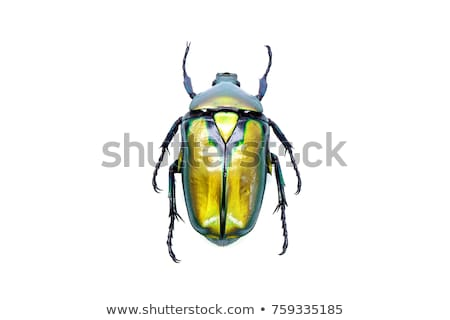 Insect Beetle (green bug) on a flower. Stock photo © H2O