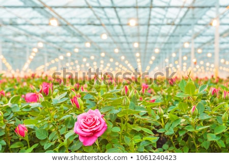 Roses in the greenhouse Stock photo © tannjuska