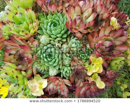 Nedvdús szép természetes természet háttér növény Stock fotó © jonnysek