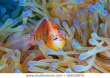 Pink Anemone Fish Stock photo © otohime