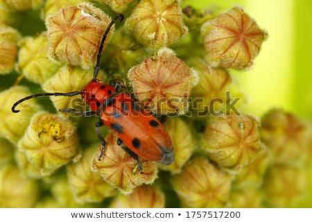 vermelho · besouro · folha · animal · inseto · bicho - foto stock © erbephoto