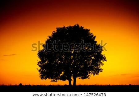 Stock fotó: Festői · nagy · fa · sziluett · naplemente · mező