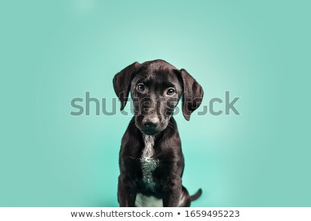 Black Labrador portrait Stock photo © algor
