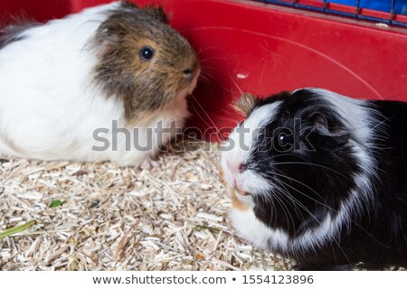 two pigs in a cage stock photo © smithore