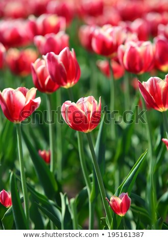red tulips with white border - shallow depth of field Stock photo © Mikko