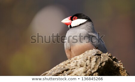 Padda oryzivora or Java Sparrow take a rest on the tree Stock photo © lewistse