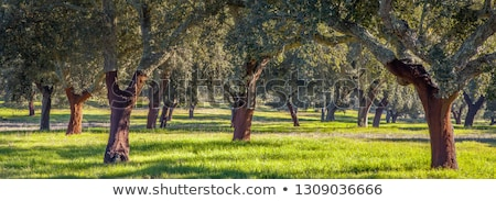 Oak trees in mediterranean forest at Portugal.  Stock photo © inaquim