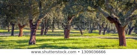 Photo stock: Chêne · arbres · forêt · Portugal · arbre