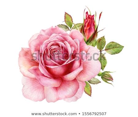 vector · flor · acuarela · rosas · dibujado · a · mano · dibujo - foto stock © adamson