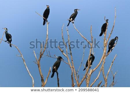 Colony Great cormorant in trees Stock photo © ivonnewierink