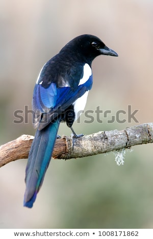 European Magpie (pica pica) Stock photo © michaklootwijk