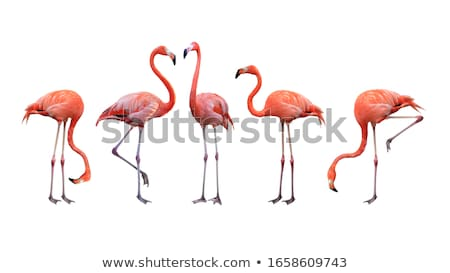 flamingoes stock photo © hofmeester