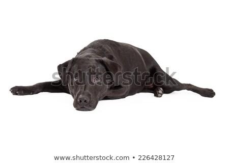 Labrador mutlu köpek stüdyo beyaz Stok fotoğraf © DNF-Style