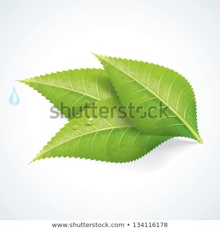 Коровка зеленый лист изолированный белый трава птица Сток-фото © Serg64