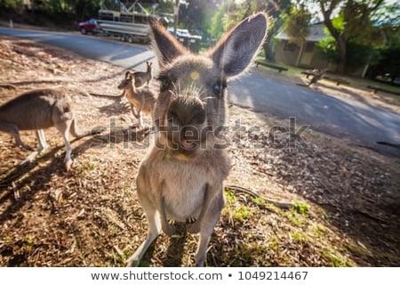 funny kangaroo Stock photo © adrenalina