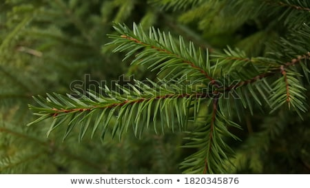 Verde soffice ramo isolato bianco Foto d'archivio © orensila