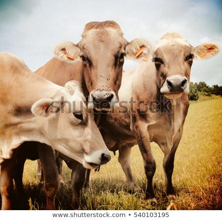 Drie koeien weide veld melk vlees Stockfoto © tilo