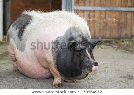 Feio porco em pé desenho animado ilustração animal Foto stock © cthoman