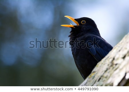 Female Common Blackbird (Turdus merula) eating a worm Stock photo © lightpoet
