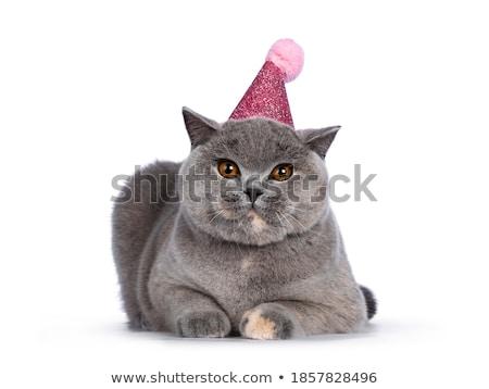 bonitinho · azul · branco · britânico · shorthair · gato - foto stock © CatchyImages