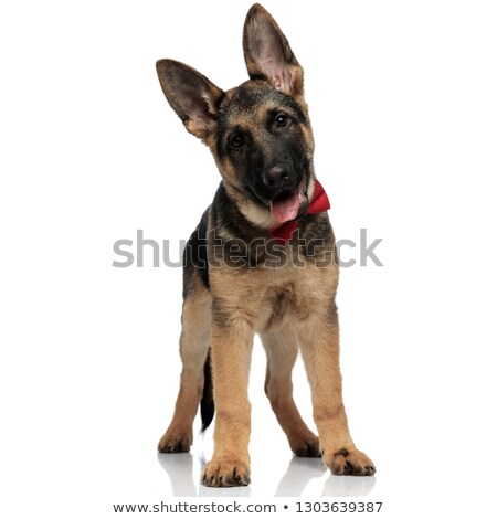 Cute chien de berger rouge langue exposé blanche Photo stock © feedough